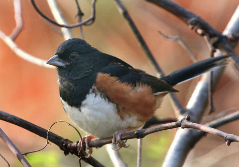 Photo by Chris BosakAn Eastern Towhee perches on a branch in Sellecks/Dunlap Woods in Darien this week.