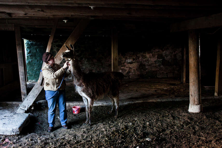 Kathy Kuzma says goodbye to Dolly the llama as Lisa Davenport arrives to take her to her farm in Holly Township on Saturday, Nov. 23, 2013. The llama, who has been spotted wandering for nearly six months in Michigan, was found Saturday, Nov. 23, 2013 in Oakland County's Holly Township, about 40 miles northwest of Detroit. Lisa Davenport plans to take the llama back to her own farm, where she has three llamas of her own along with other animals. (AP Photo/The Flint Journal, Zack Wittman) LOCAL TV OUT; LOCAL INTERNET OUT / The Flint Journal