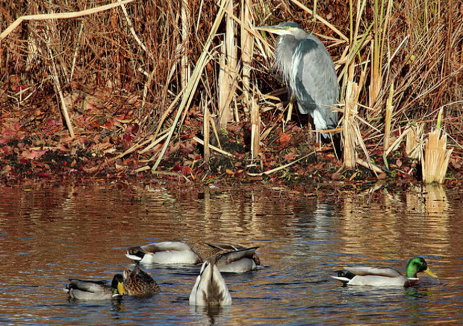 Photo by Chris BosakA Great Blue Heron rests along the shoreline as Mallards eat in the water at a cemetery in Darien, CT, on Wednesday, Nov. 20, 2013.