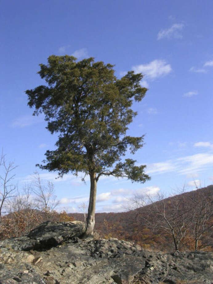 Photo by Rob McWilliamsCedar tree on Sugarloaf Mountain.