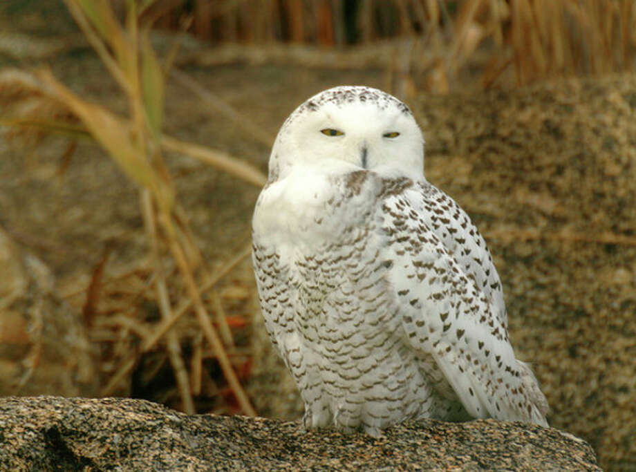 Photo by Chris BosakA Snowy Owl sits on a rock on an island off the coast of Norwalk in November 2008.