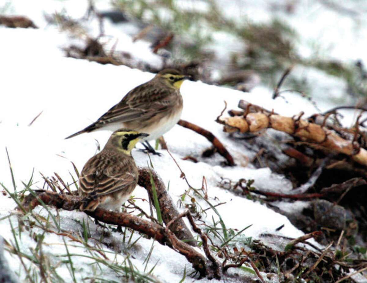 Photo by Chris Bosak A pair of Horned Larks were found at Oystershell Park in Norwalk during Sunday's Christmas Bird Count.