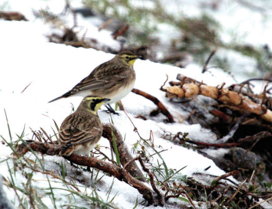 Photo by Chris BosakA pair of Horned Larks were found at Oystershell Park in Norwalk during Sunday's Christmas Bird Count.