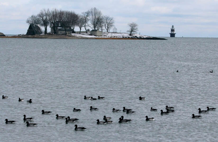 Hour photo / Chris BosakA flock of Brant swim in the water at Calf Pasture Beach in Norwalk on Sunday. Brant were seen in large numbers during Sunday's Christmas Bird Count.