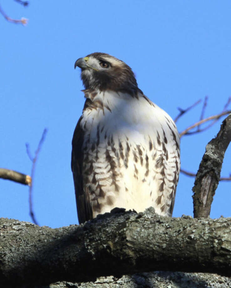 Photo by Chris BosakA Red-tailed Hawk perches in a tree in Darien, Conn., Dec. 2013.