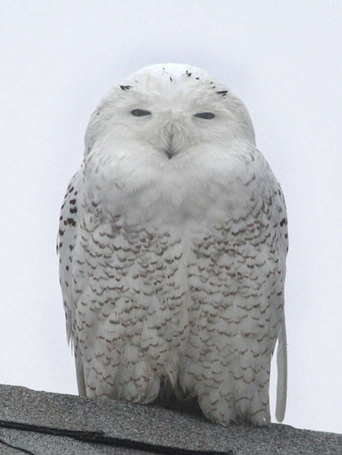 Photo by Chris BosakA Snowy Owl perches on a roof top at Sherwood Island State Park in Westport on Monday, Dec. 23, 2013.