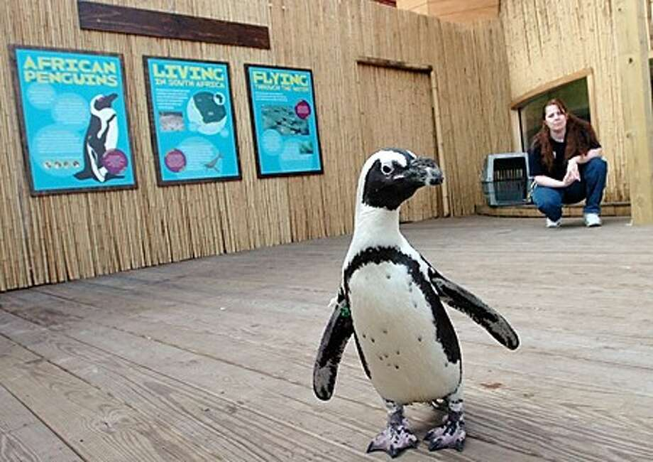 "Kerry Dobson, Maritime Aquarium supervisor takes ""Moby"" one of the African penguins out for a stroll on the deck where tomorrow the new exhibit featuring the rare birds will open/hour hoto matthew vinci"