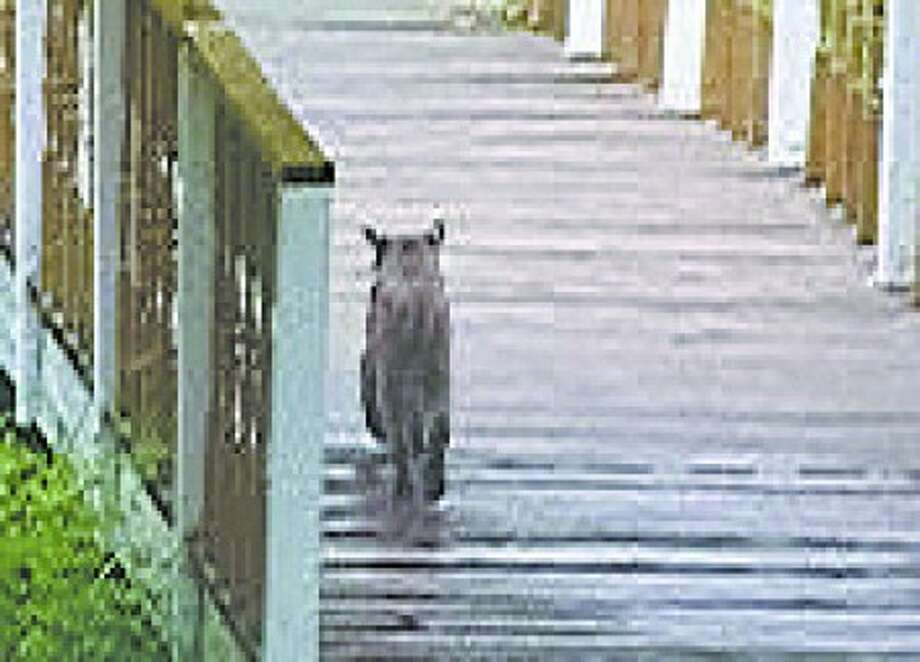 Wilton resident finds a bobcat in her backyard