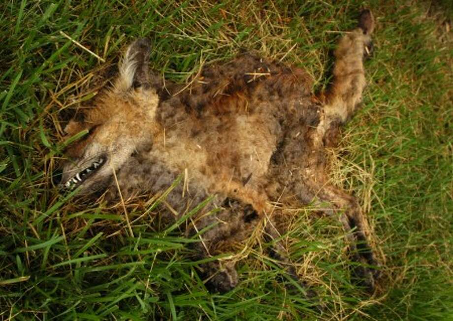A dead red fox discovered at Riverside Cemetary. Riverside Cemetary General Manager Petrea Randazzo believes several fox kits have been poisoned at the cemetery. Hour photo / Erik Trautmann