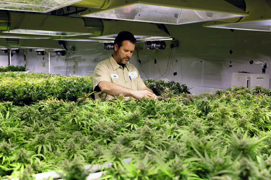 In this Dec. 5, 2013, photo, Tyler, no last name given, inspects plants as they mature at the Medicine Man dispensary and grow operation in northeast Denver. As Colorado prepares to be the first in the nation to allow recreational pot sales, opening Jan. 1, hopeful retailers are investing their fortunes into the legal recreational pot world _ all for a chance to build even bigger ones in a fledgling industry that faces an uncertain future.(AP Photo/Ed Andrieski) / AP