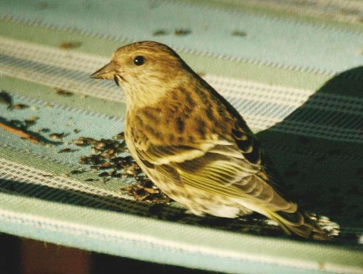 A pine siskin eats thistle seeds. Photo by CHRIS BOSAK