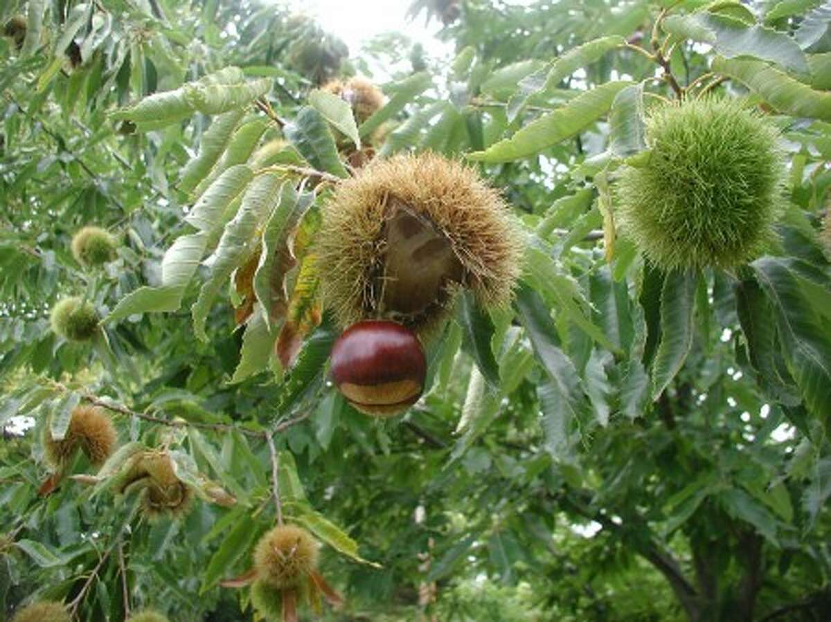 Colossal Chestnuts in New Paltz, N.Y. Many ingredients for stuffing can be reaped from the garden. (AP Photo/Lee Reich)