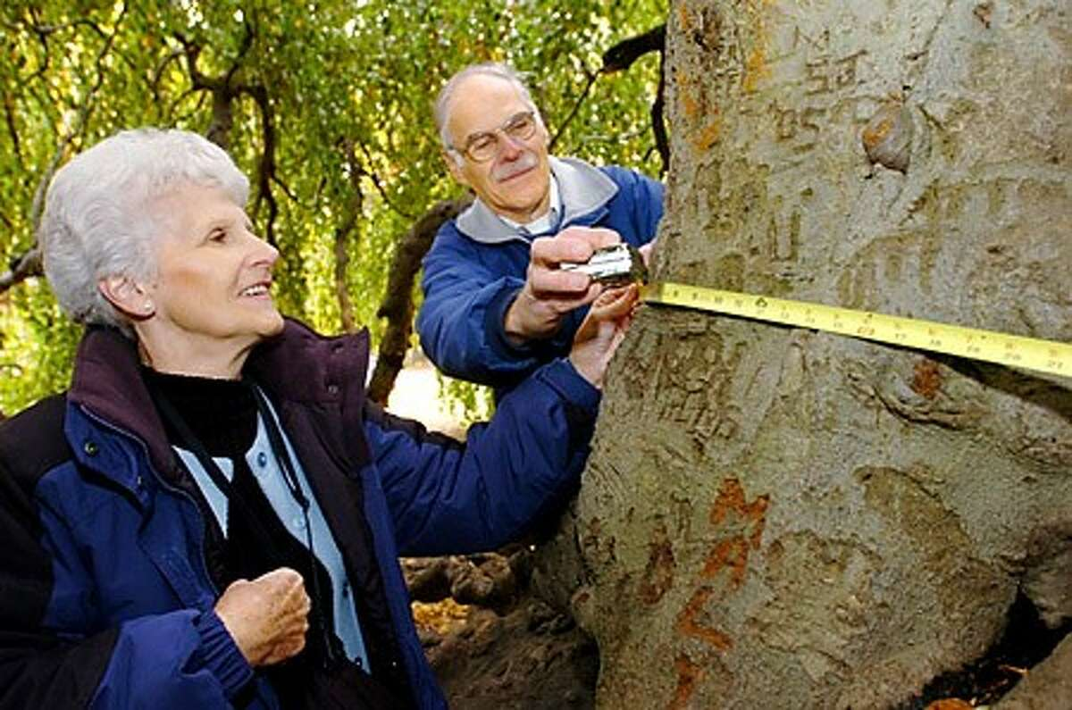 Jeane McAndrew, treasurer of the Norwalk Tree Alliance and Vice President Dan Landau measure a Weeping Beech at Cranbury Park. The well known tree is a rare variety that do not grow naturally in Connecticut. Hour photo / Erik Trautmann