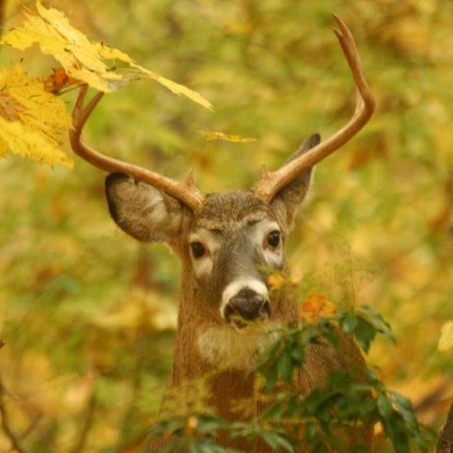 A male white-tailed deer hides in the woods earlier this fall. By CHRIS BOSAK