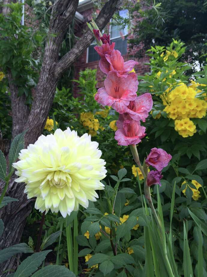 Mercy Daniel has a garden full of flowers in Pearland, including dahlias, gladioas and Gold Star Esperanza. Photo: C.G. Daniel