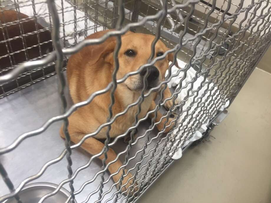 This adult dog was one of six quarantined for rabies in Austin in June 2016. On Thursday, a San Antonio lab saw its first rabies positive dog in 5 years, according to the Kendall County Sheriff's Office. Photo: Courtesy/City Of Austin