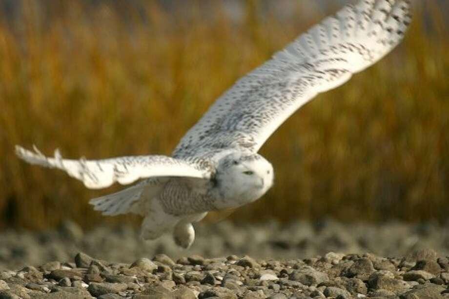 A snowy owl takes off from a sandbar off the coast of Norwalk last November. Photo by CHRIS BOSAK