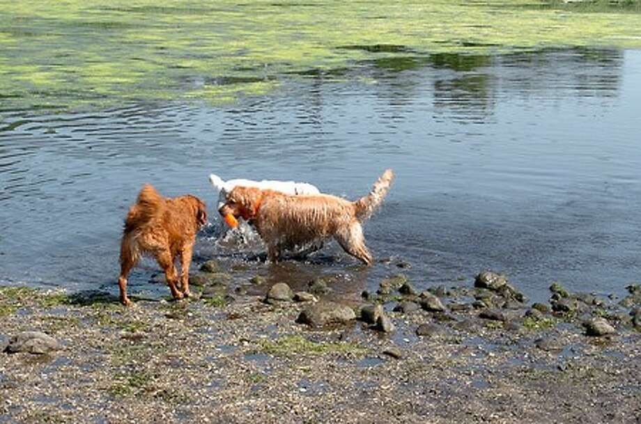 Cavorting in the pond at Taylor Farm where dog owners regularly take their four footed friends for fun and a dip in the water. Hour photo / BEN GANCSOS