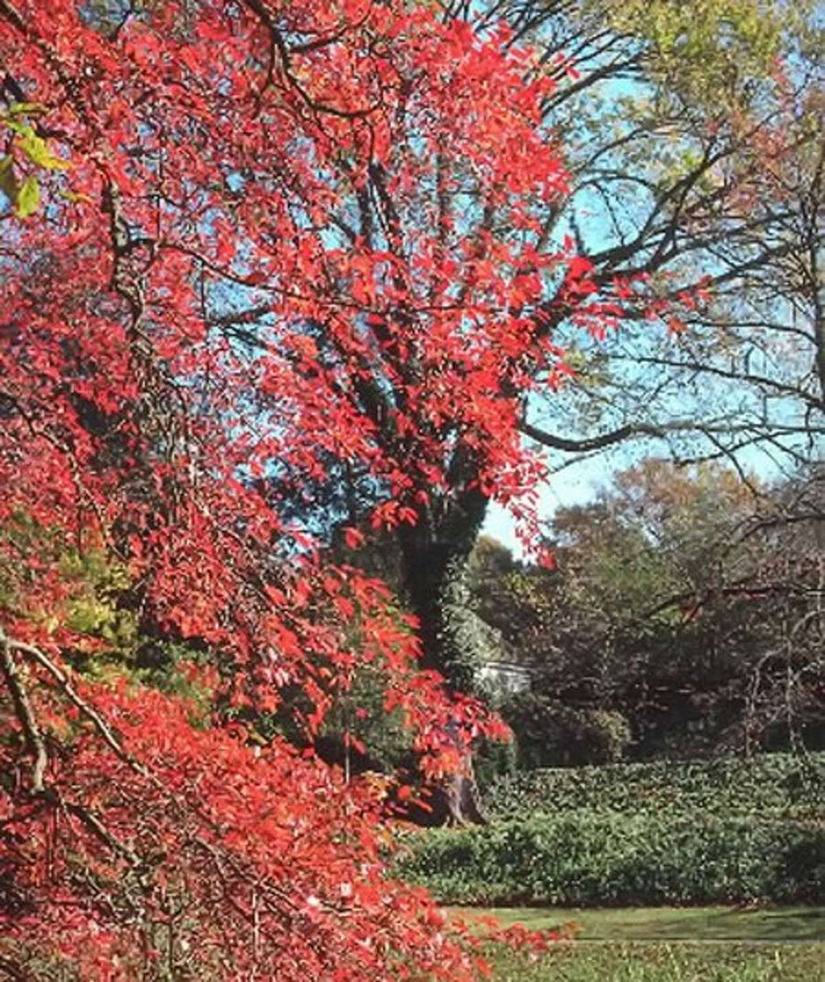 Black gum''s foliage turns royal red in October. (Courtesy Colonial Williamsburg via Newport News Daily Press/MCT)