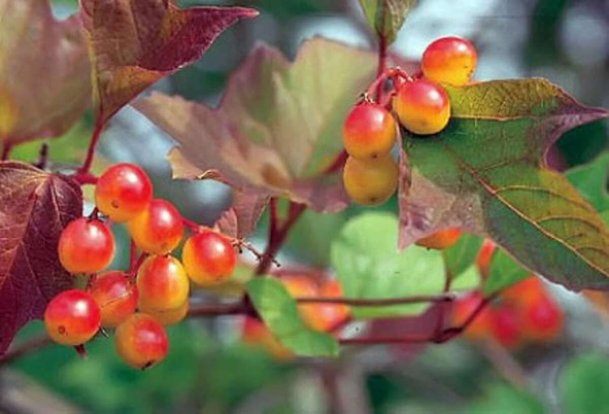 Cranberry bush''s fall berries follow spring flowers. (Courtesy USDA via Newport News Daily Press/MCT)