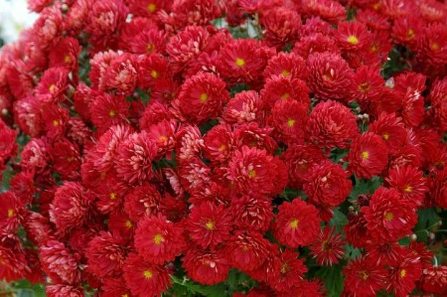 Belgian mums come in early-, mid- and late-season varieties, so with planning, you can have mums blooming all fall. These Pobo Red mums are beautiful in the fall and will return faithfully in the spring. (Norman Winter/MSU Extension Service/MCT)