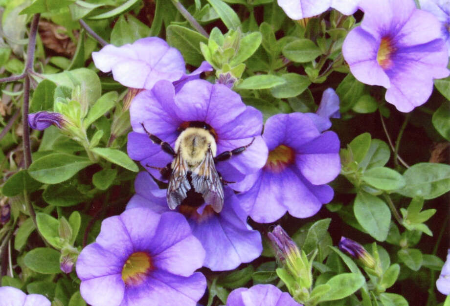 Leonard Sciotti of Rensselaer captured this photo of a bee gathering pollen from a flower. (Leonard Sciotti)
