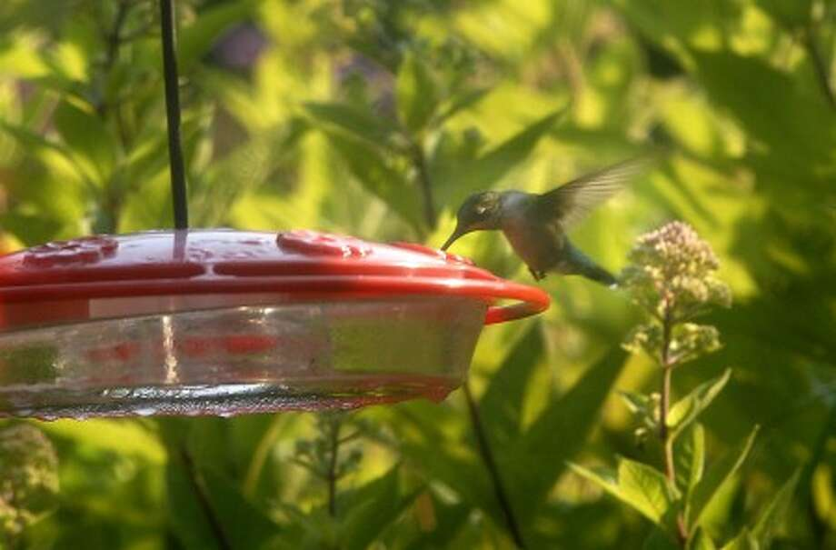 This hummingbird feeds in Eldora, N.J. AP photo