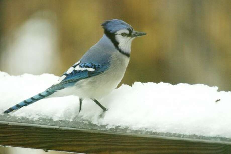 Photo by CHRIS BOSAK A blue jay perches on a snowy railing.