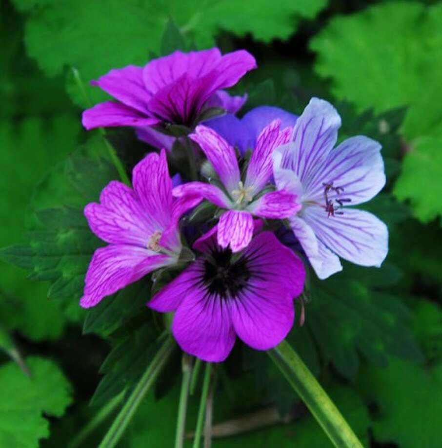Selections of different hardy geraniums are bound together in Robin Parer