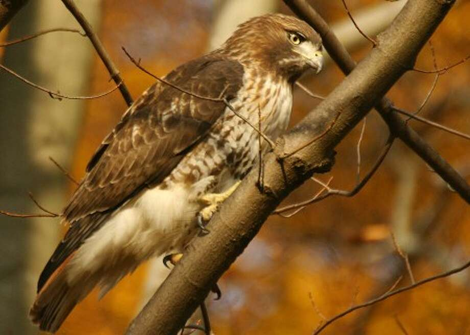 Photo by CHRIS BOSAK Red-tailed hawk perches in branch in Fairfield County.