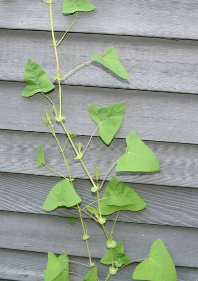 Tree-killing vine spotted in Norwalk