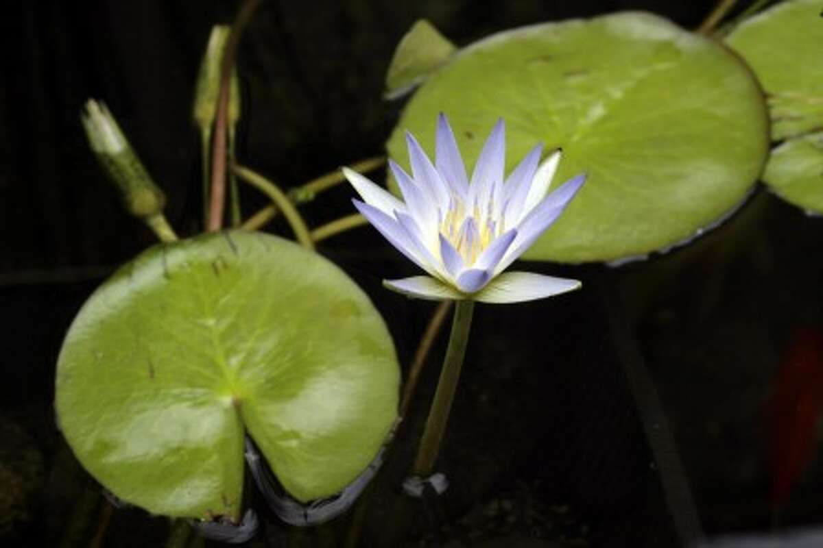 Nymphaea Caerulea. MCT photo