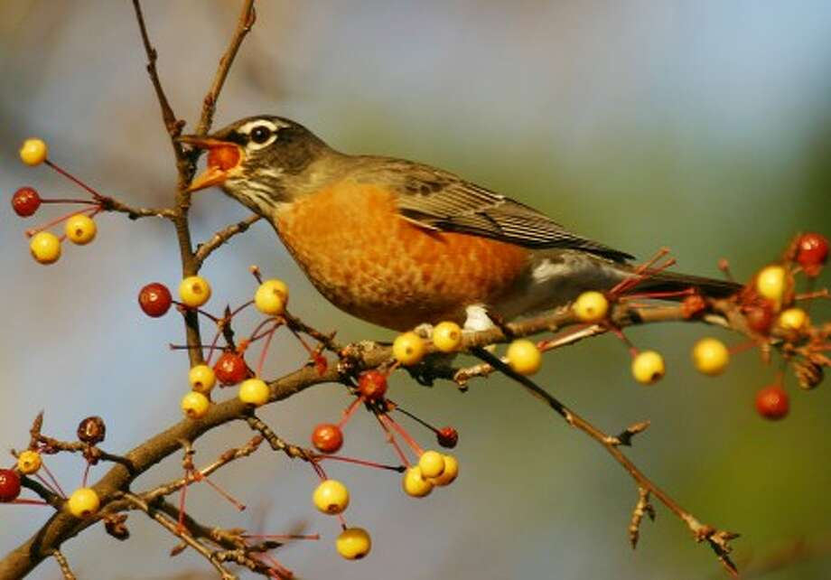 Photo by CHRIS BOSAK An American robin eats fruit from a tree this fall.