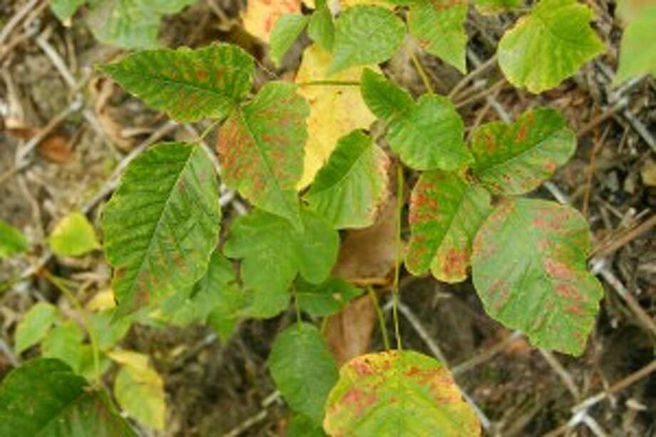 Poison ivy: Recognizing it, avoiding it, treating it