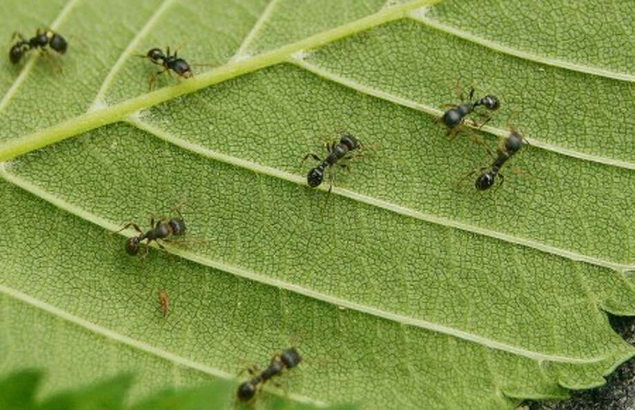 Photo by CHRIS BOSAK Ants crawl on a leaf near their nest in Fairfield County. These ants bite or sting to protect their nest.