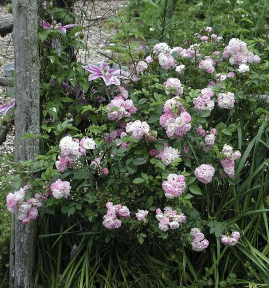 This undated photo shows a Polyantha rose in New Paltz, N.Y. The usual ills, such as blackspot or Japanese beetles, do little damage to Polyantha. The leaves of this rose remain almost as perky green in fall as they were in early summer. (AP Photo/Lee Reich)