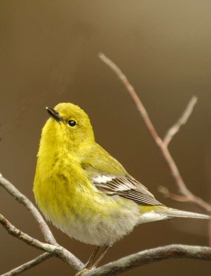 Photo by CHRIS BOSAK A pine warbler perches on a branch at Dolce Norwalk Center last spring.