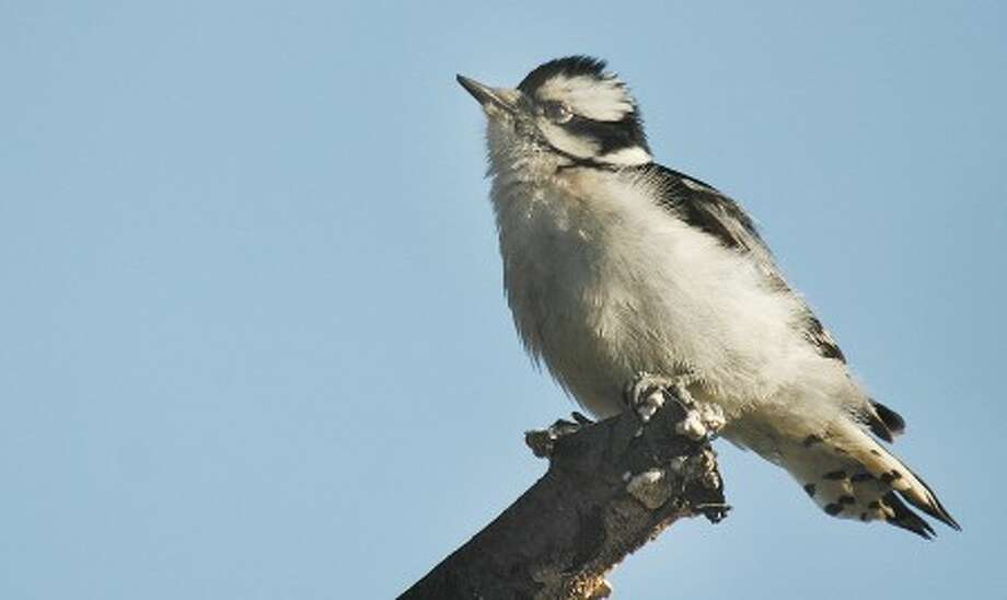 Photo by CHRIS BOSAK Downy woodpeckers will likely turn up on several Great Backyard Bird Count lists.