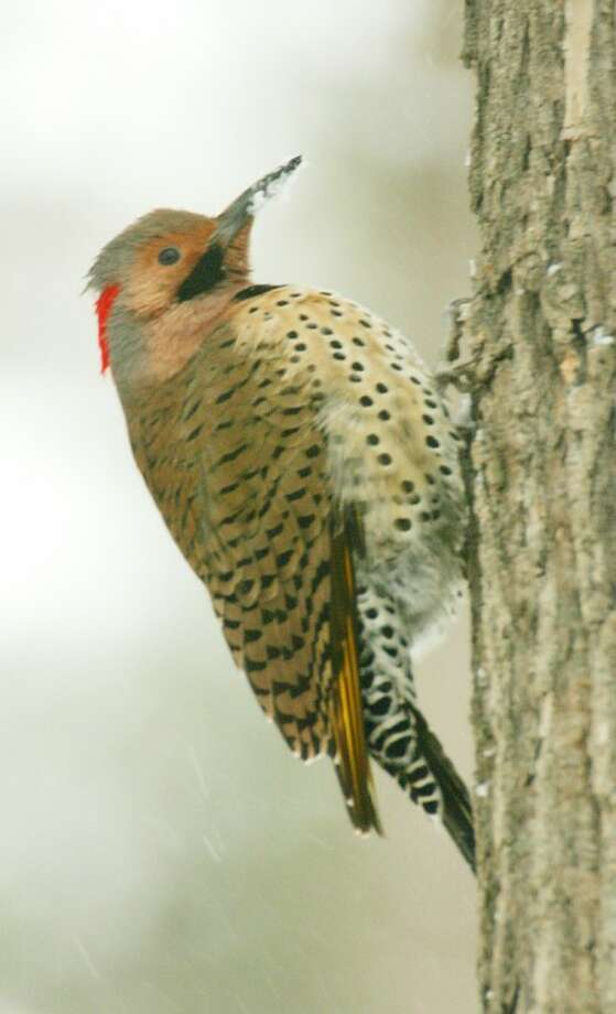 Photo by CHRIS BOSAK A northern flicker clings to a tree after visiting a birdfeeder during Wednesday''s storm.