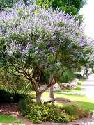 Vitex at Quarry2: Good to Grow Vitex2 0619. Chaste tree (Vitex agnus-castus). Credit: Forrest W. Appleton, courtesy. 6/9/04.