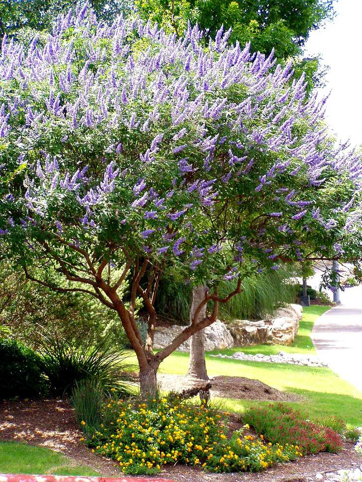 Vitex at Quarry2: Good to Grow Vitex2 0619. Chaste tree (Vitex agnus-castus). Credit: Forrest W. Appleton, courtesy. 6/9/04.