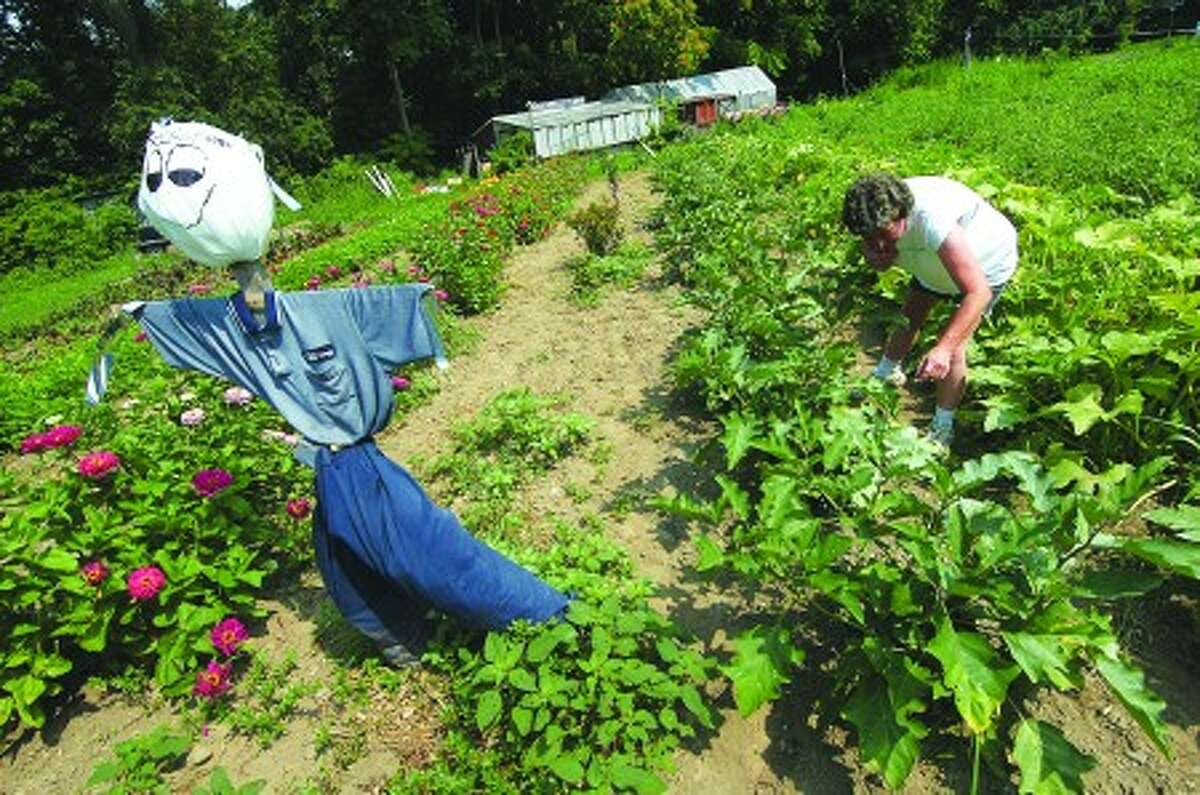 Photo/Alex von Kleydorff. Kathy Kennedy looks for ripe Zuchini to pick in the vegatable garden at Bucciarelli Farm in Norwalk. The harvest includes tomatoes, sweet corn, squash, eggplant, a variety of Peppers and much more at the farm stand just off Ponus ave in Norwalk.