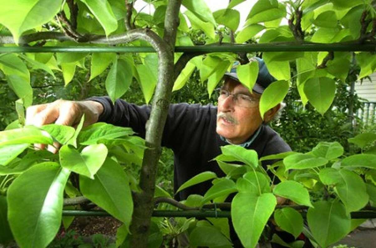 Photo/Alex von Kleydorff. Master Gardener Nick Mancini prunes some of his Asian Apple trees in his westport organic garden.