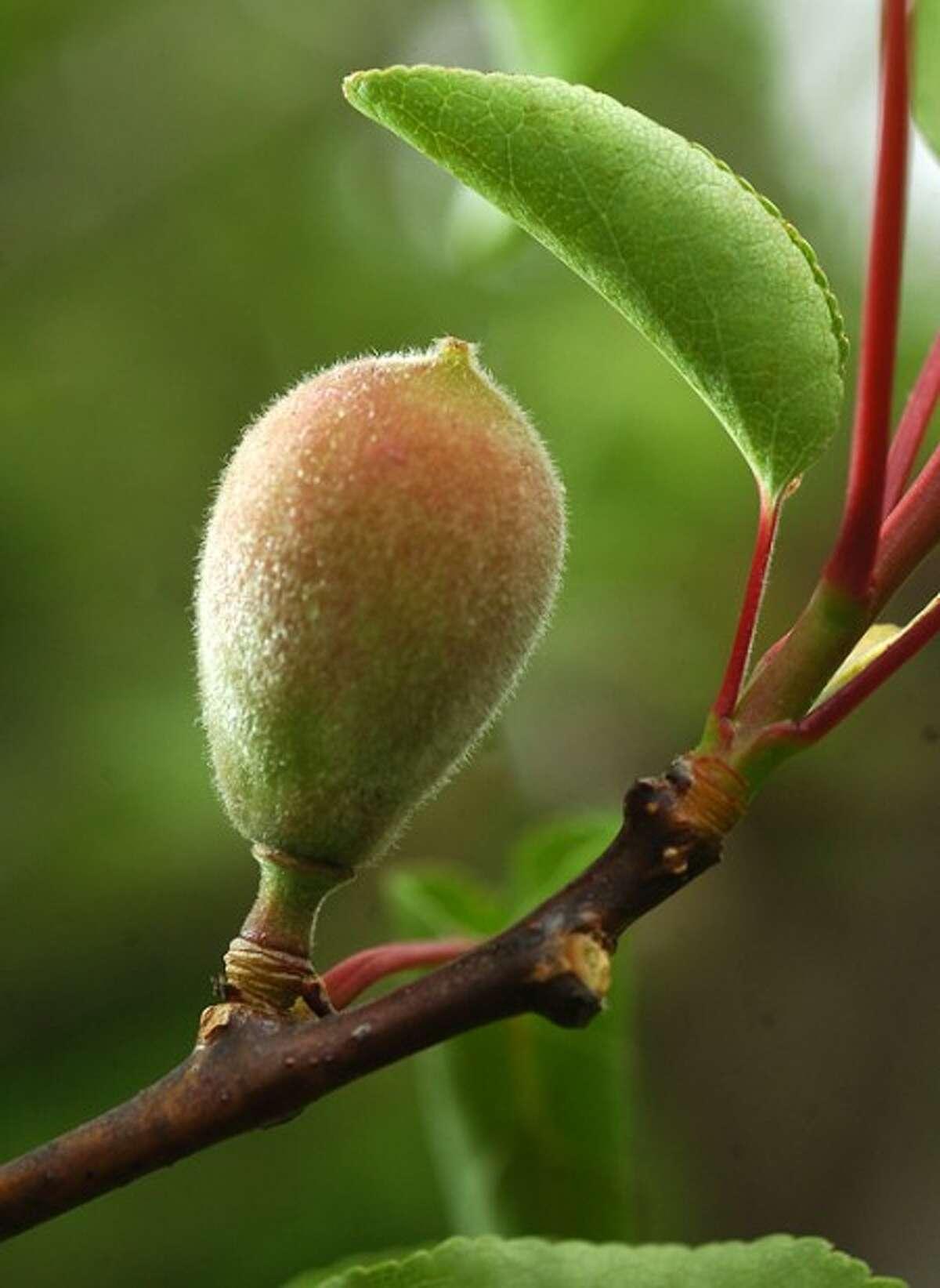 Photo/Alex von Kleydorff. Fruit on an Apricot Tree starts to blossom in Nick Mancini''s Westport Organic garden.