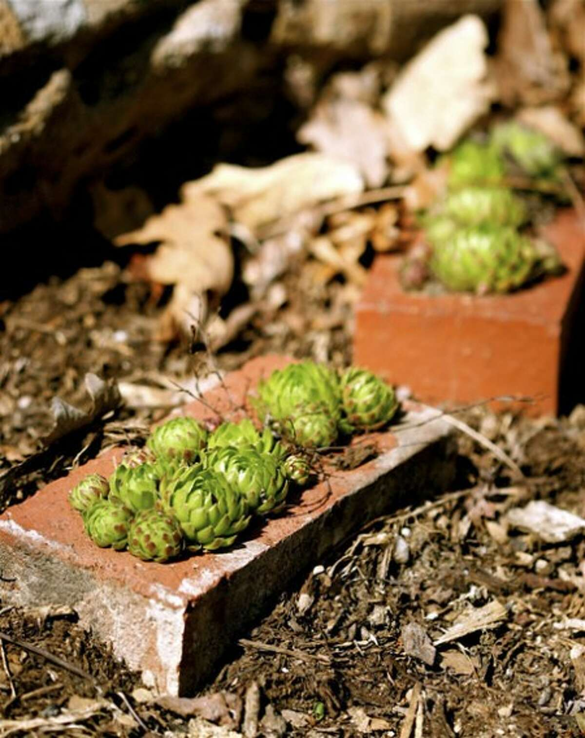 This April 13, 2007 photo shows succulents in New Market, Va., that have survived the rigors of a half-dozen moves by two generations of the same family. Their brick-container portability prevents the plant separation anxiety that often results when a gardener sells a home and is forced to leave cherished plants behind. (AP Photo/Dean Fosdick)