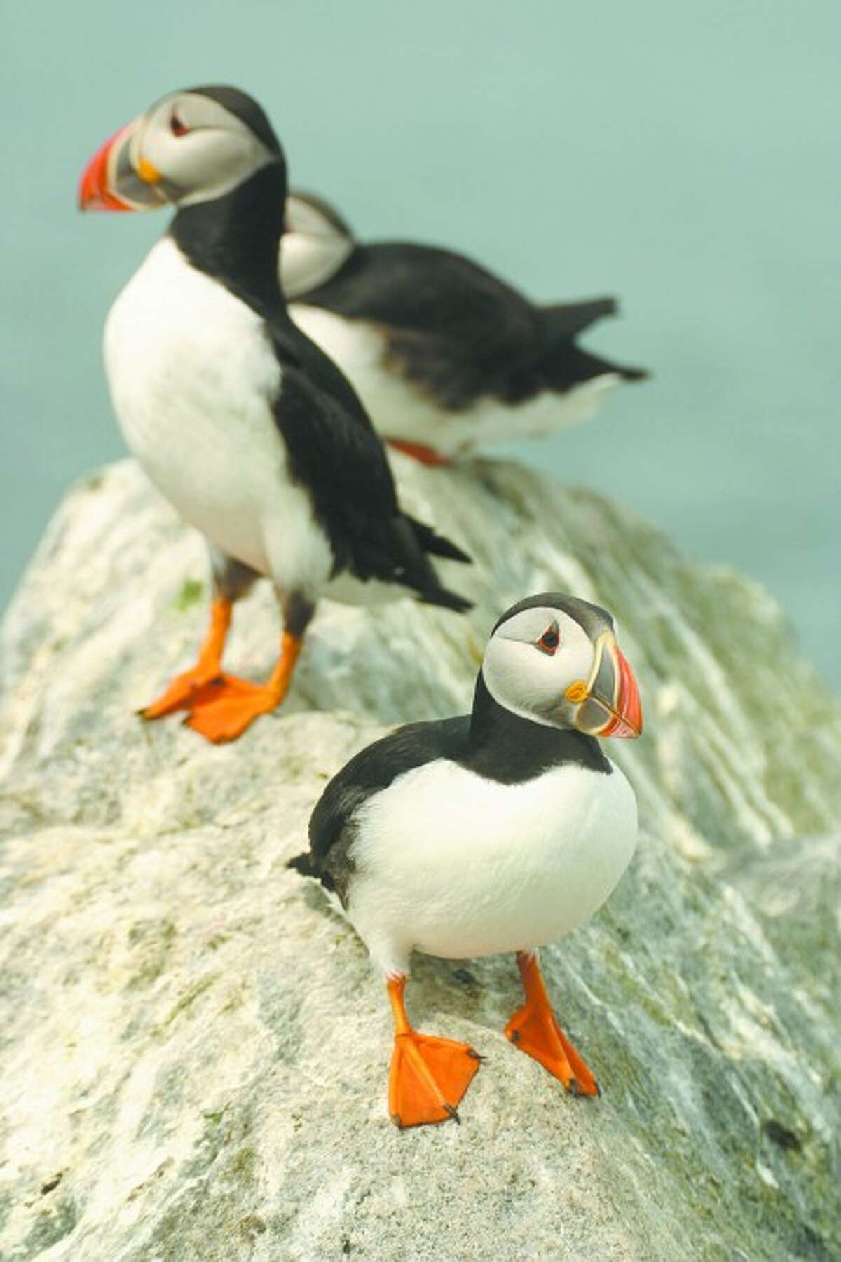 Photo by CHRIS BOSAK Atlantic puffins sit on a rock off the coast of Maine this summer. (See outdoor section: www.thehour.com/sports/outdoors)