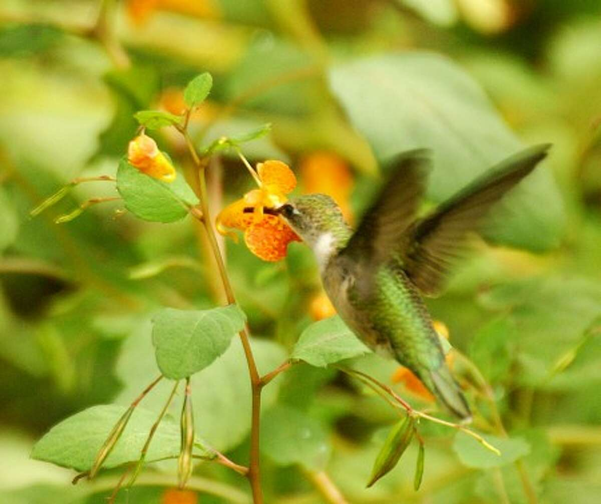 Photo by CHRIS BOSAK A female ruby-throated hummingbird sips nectar from a jewelweed plant in Norwalk.