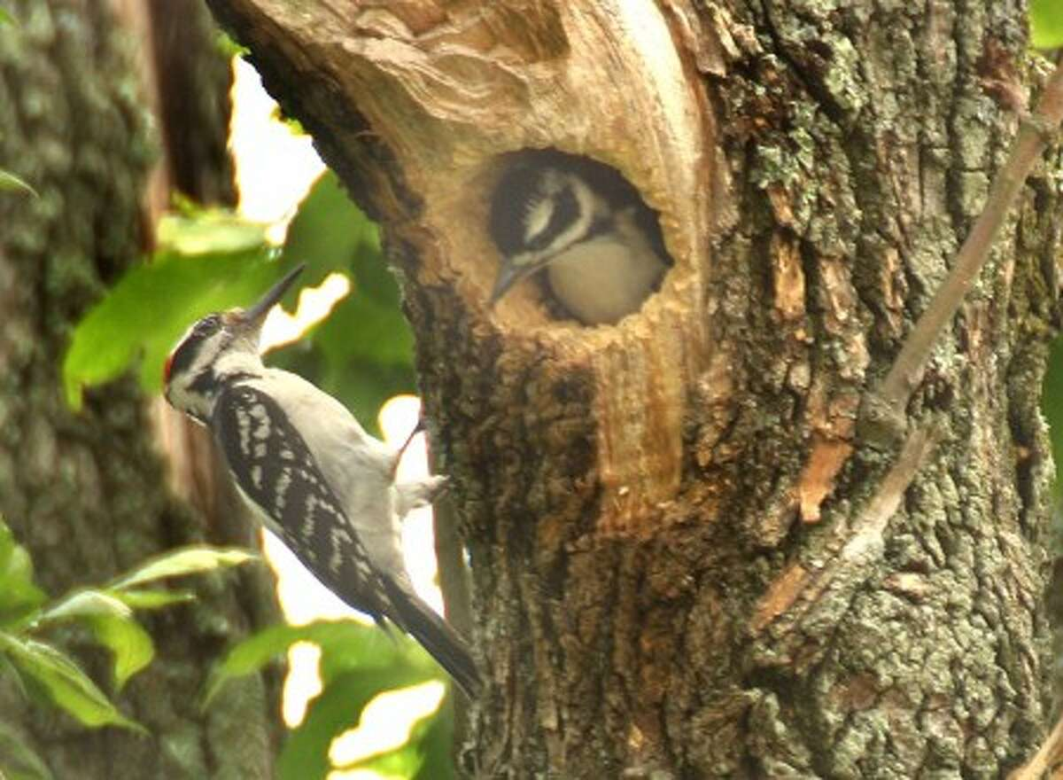A male hairy woodpecker visits his brood in an ash tree in Norwalk. Photo by CHRIS BOSAK