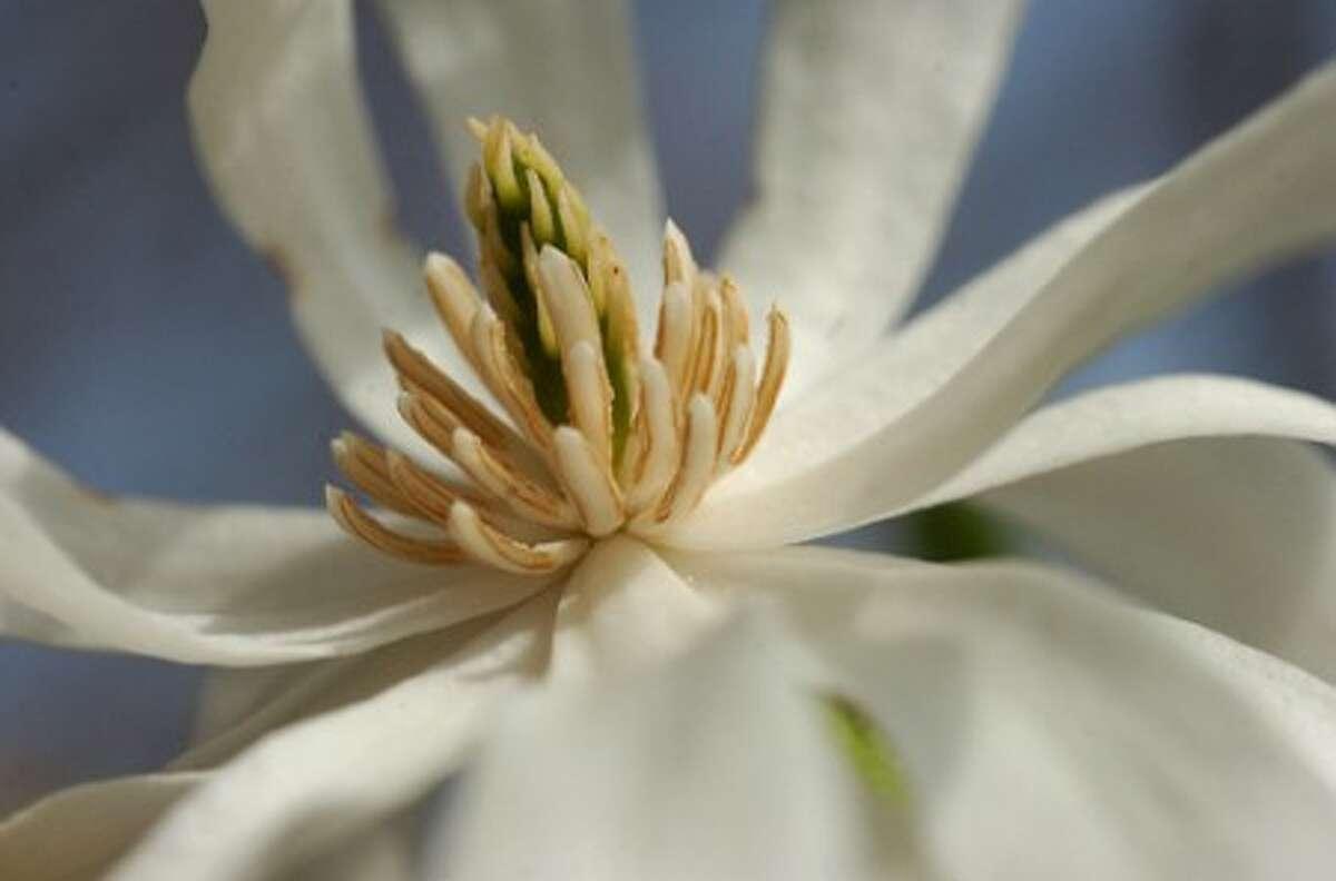 Photo/Alex von Kleydorff. A Dogwood blossoms on a tree in Wilton center.