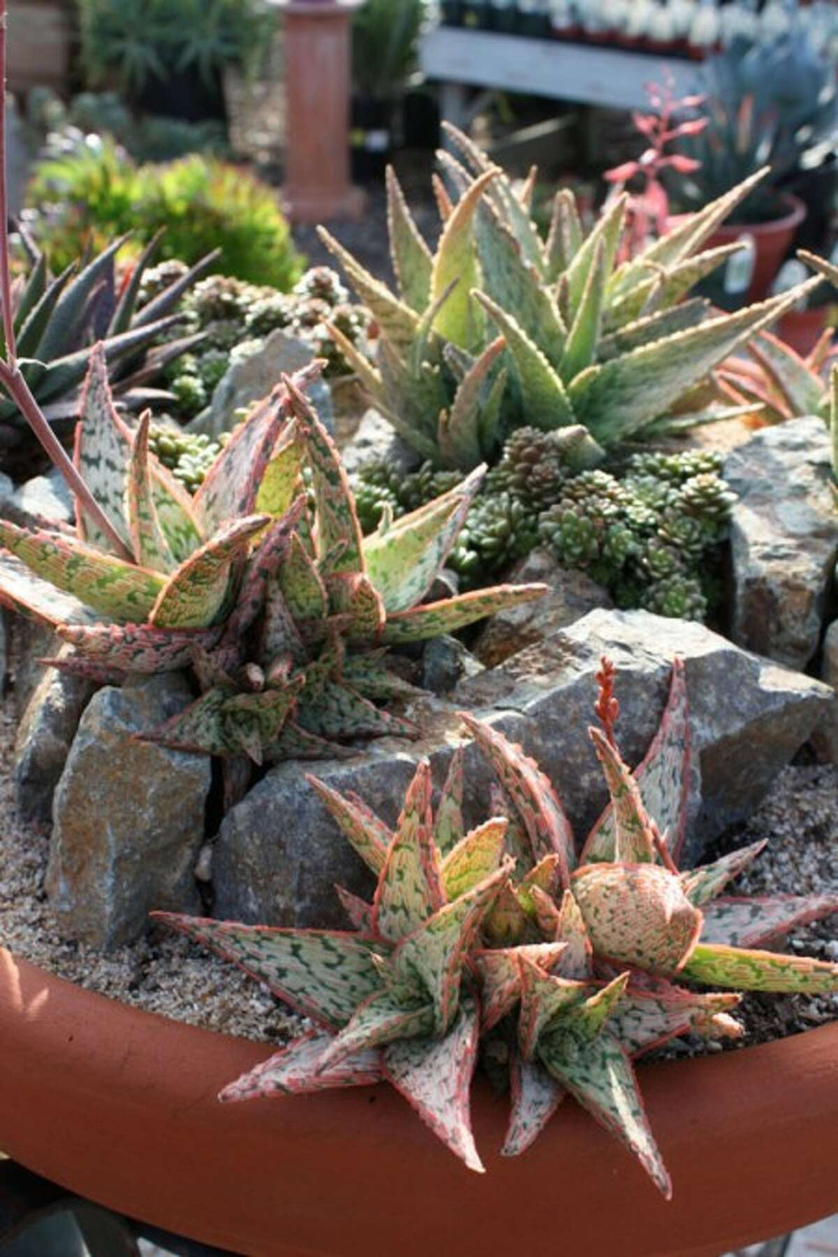 This photo released by Sunshine gardens nursery shows rocks enhancing a composition that features diminutive aloes with a bumpy texture. Design by Howard Vieweg. (AP Photo/ Sunshine Gardens Nursery,Debra Lee Baldwin)